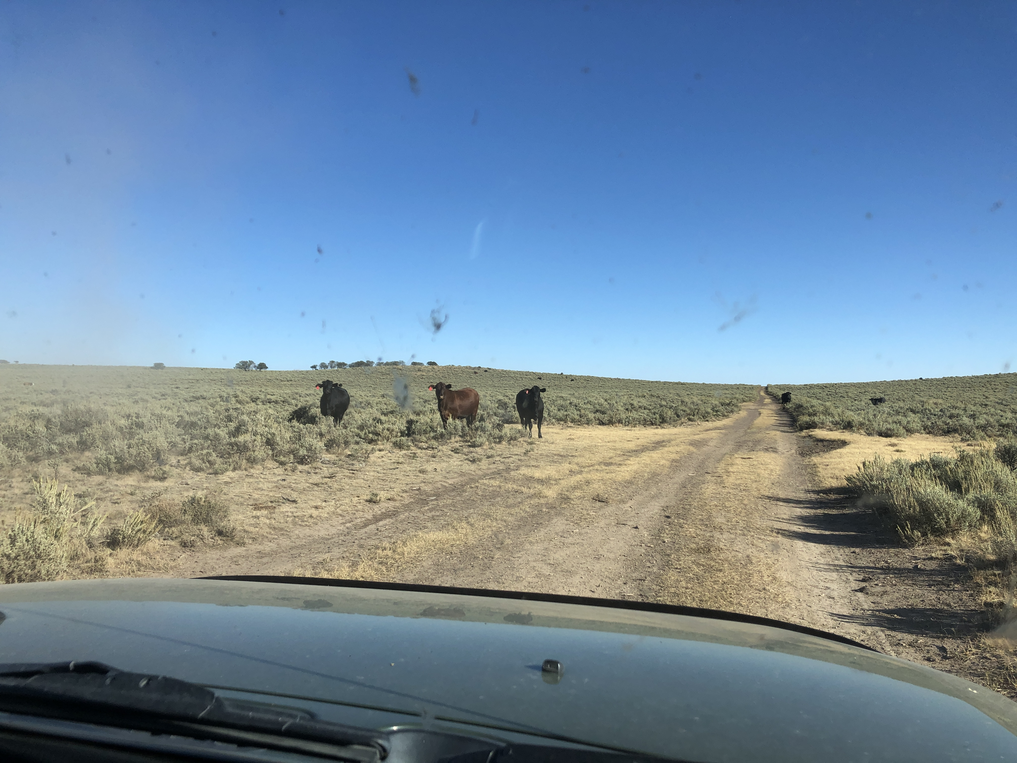 cows on antlelope ridge